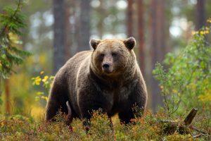 bear noticed in Vernon